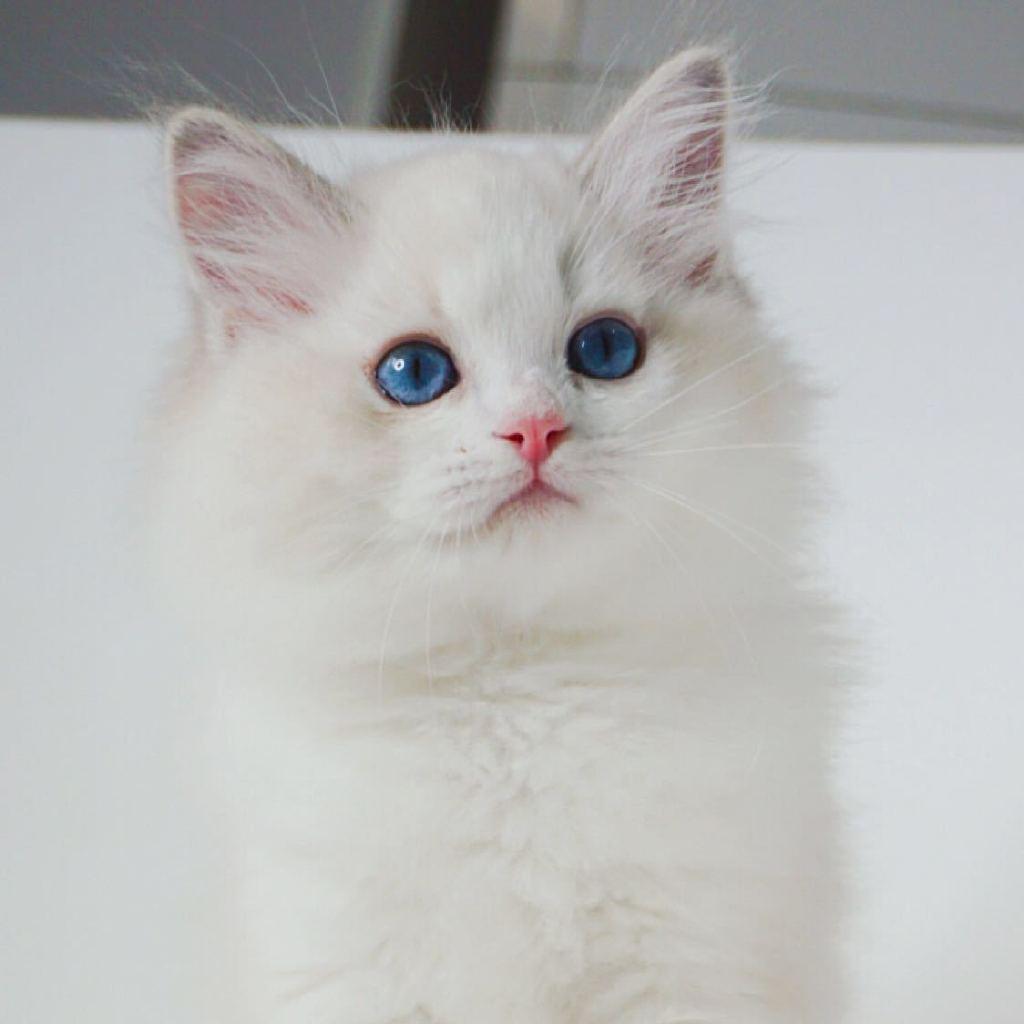 布偶猫可爱gif