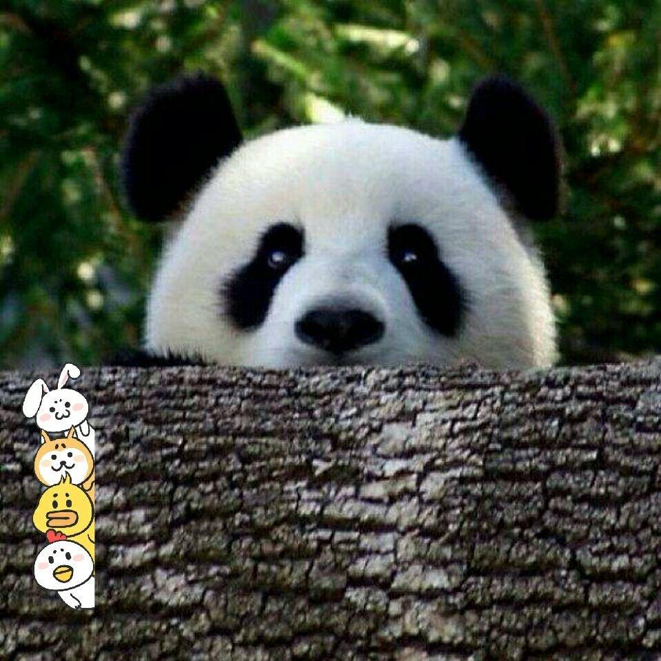 我是可爱的大熊猫