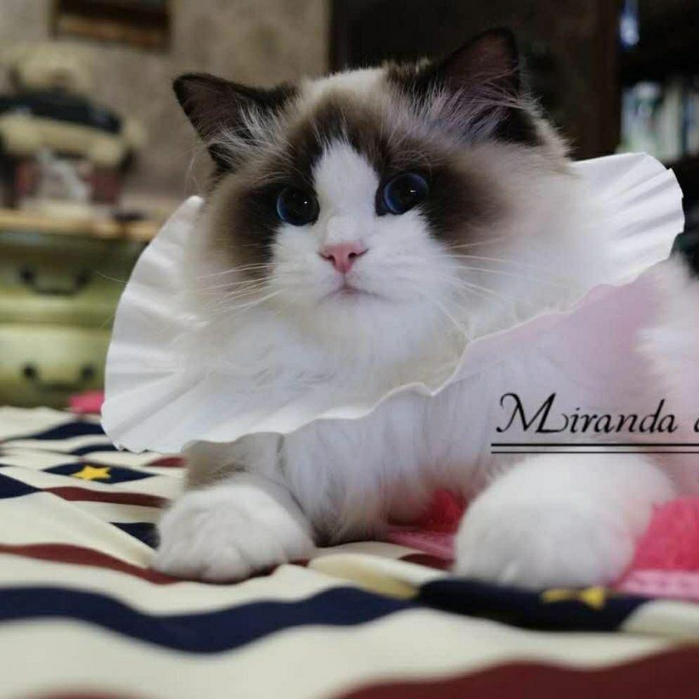 颜值好高啊[可爱] #布偶猫##我爱布偶.-来自miranda