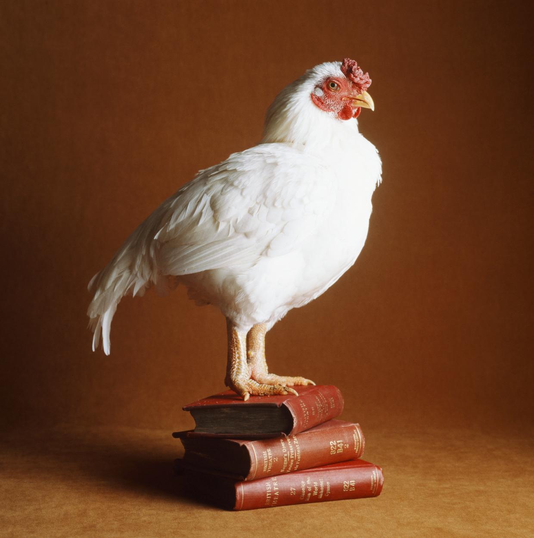 大吉大利,晚上吃鸡!-鸡肉是如何击败牛肉成为美国肉类消费霸主的?