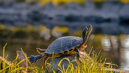 一只雄性黄腹彩龟