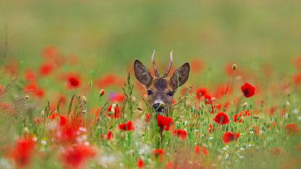 罂粟花丛中的欧洲狍