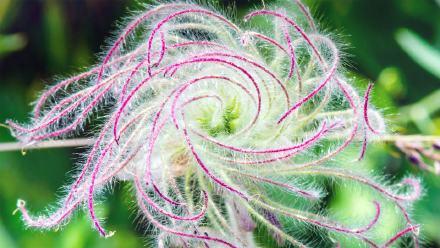结籽时的三花锦葵的长羽