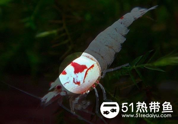 花头水晶虾