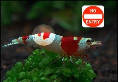 禁止入内水晶虾