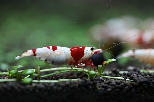 锦虾水晶虾