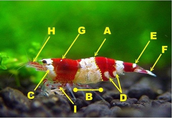 水晶虾分级参考