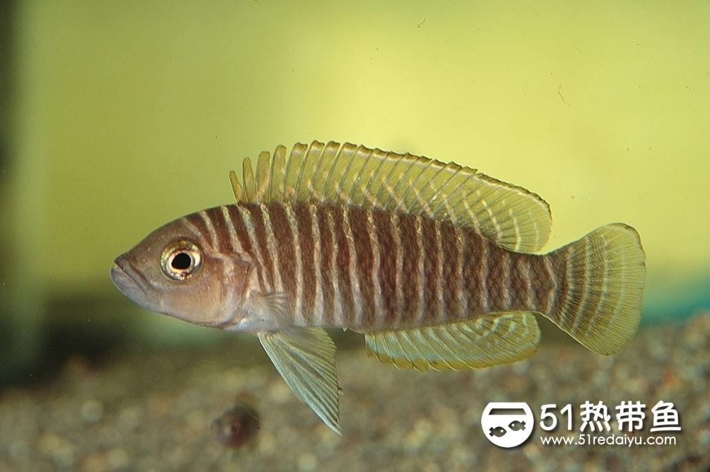 斑马贝母鱼