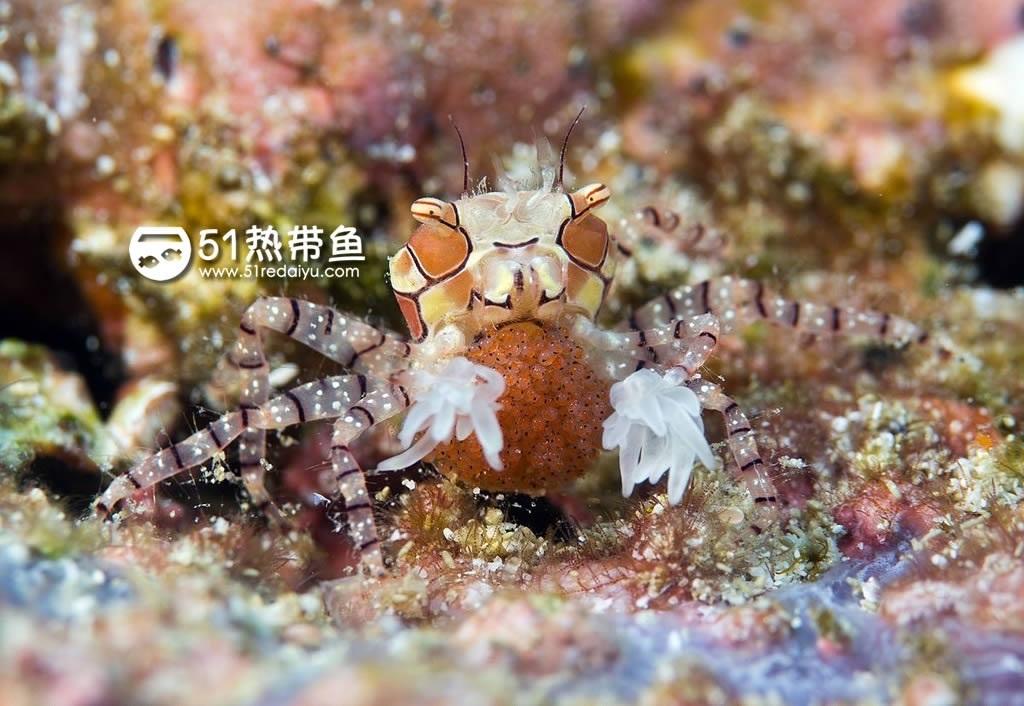拳击蟹 Lybia edmondsoni