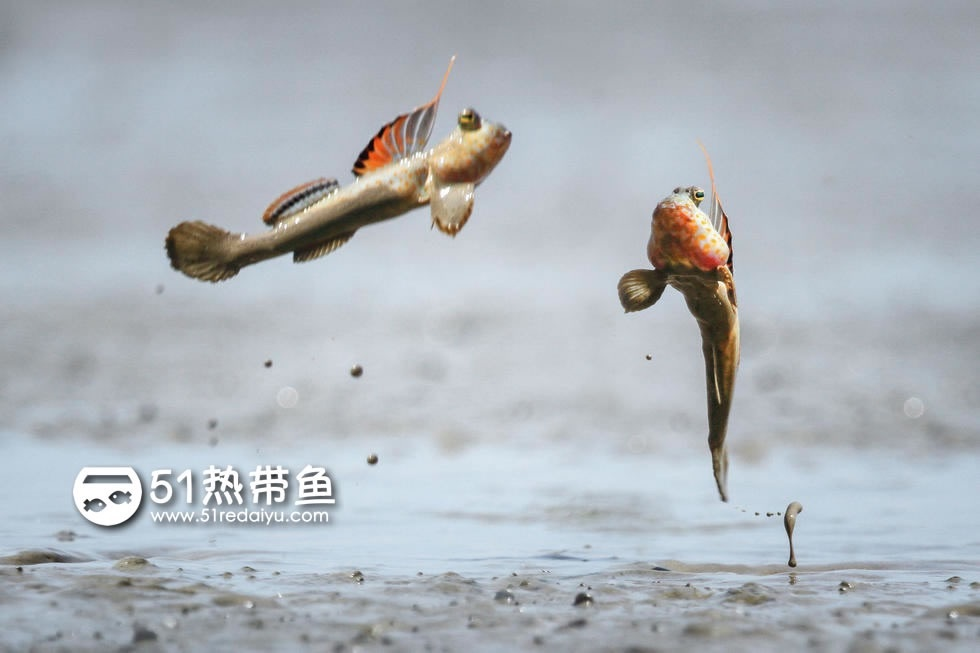 打斗的弹涂鱼