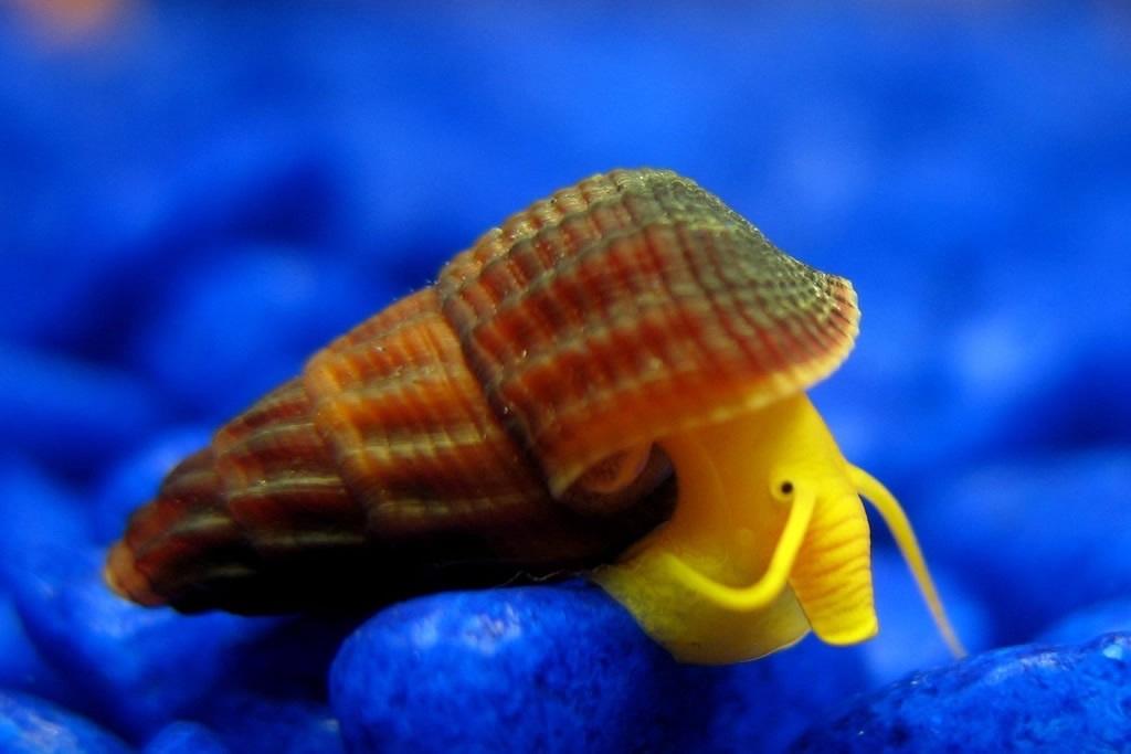 橙兔螺幼螺