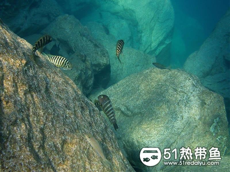 坦噶伊喀湖中蝴蝶鱼的原生环境