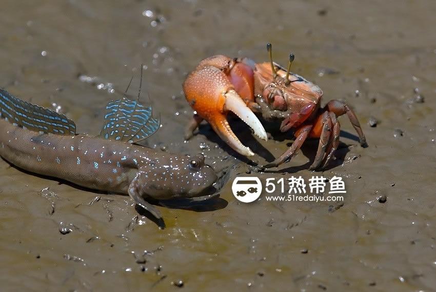 弹涂鱼和招潮蟹