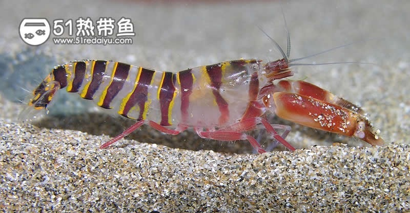 鼓虾:Alpheus thomasi