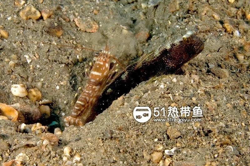 鼓虾和虾虎鱼