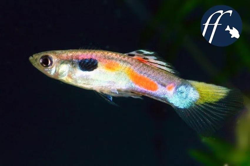 委内瑞拉野生孔雀鱼
