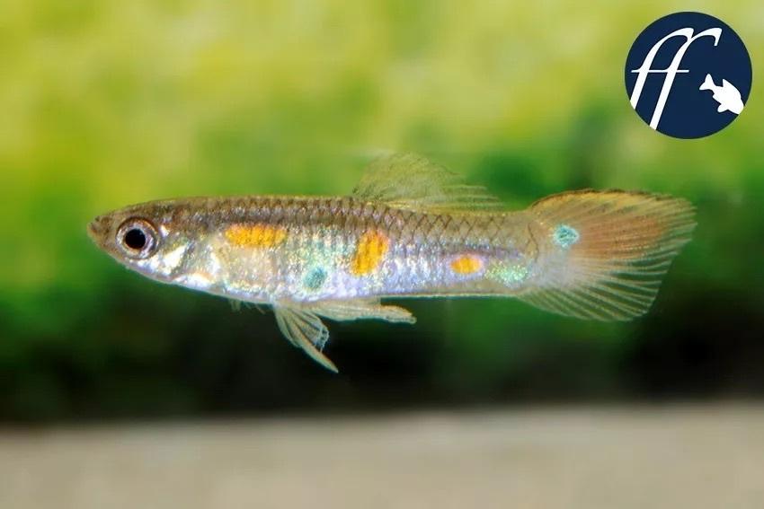 另一只雾斑花鳉的雄鱼