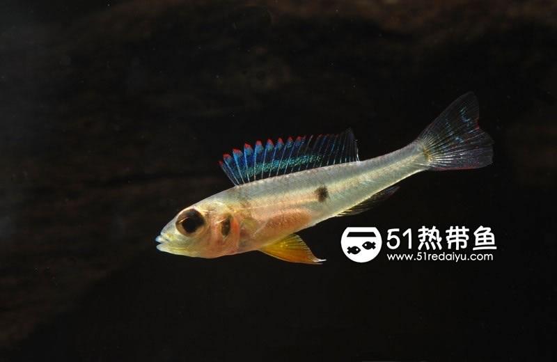 绿宝石短鲷母鱼