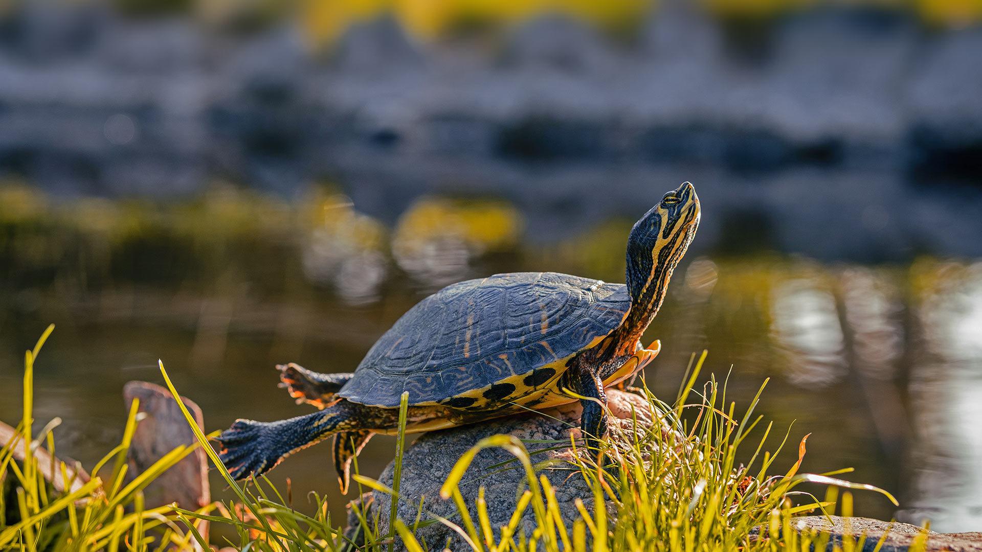 一只雄性黄腹彩龟黄腹彩龟