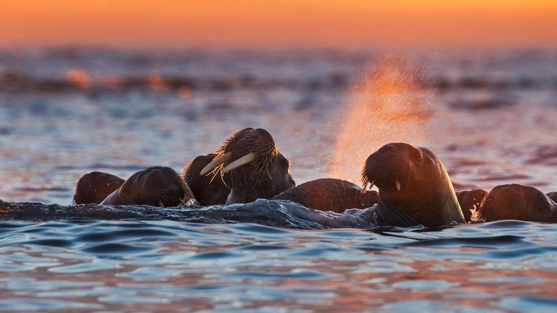 白岛附近的海象,挪威斯瓦尔巴群岛