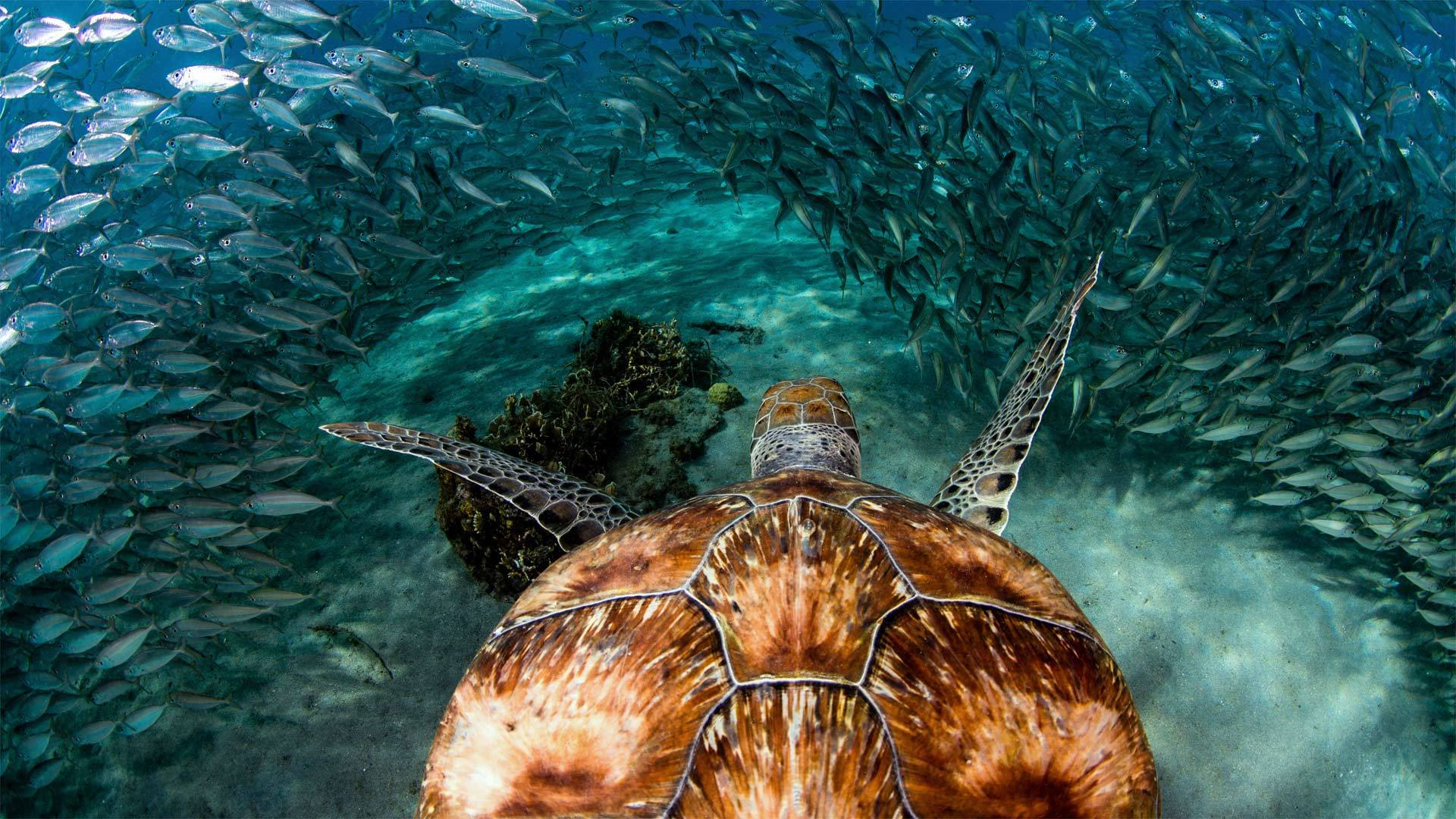 库拉索普拉亚格兰迪海滩附近的绿海龟和沙丁鱼