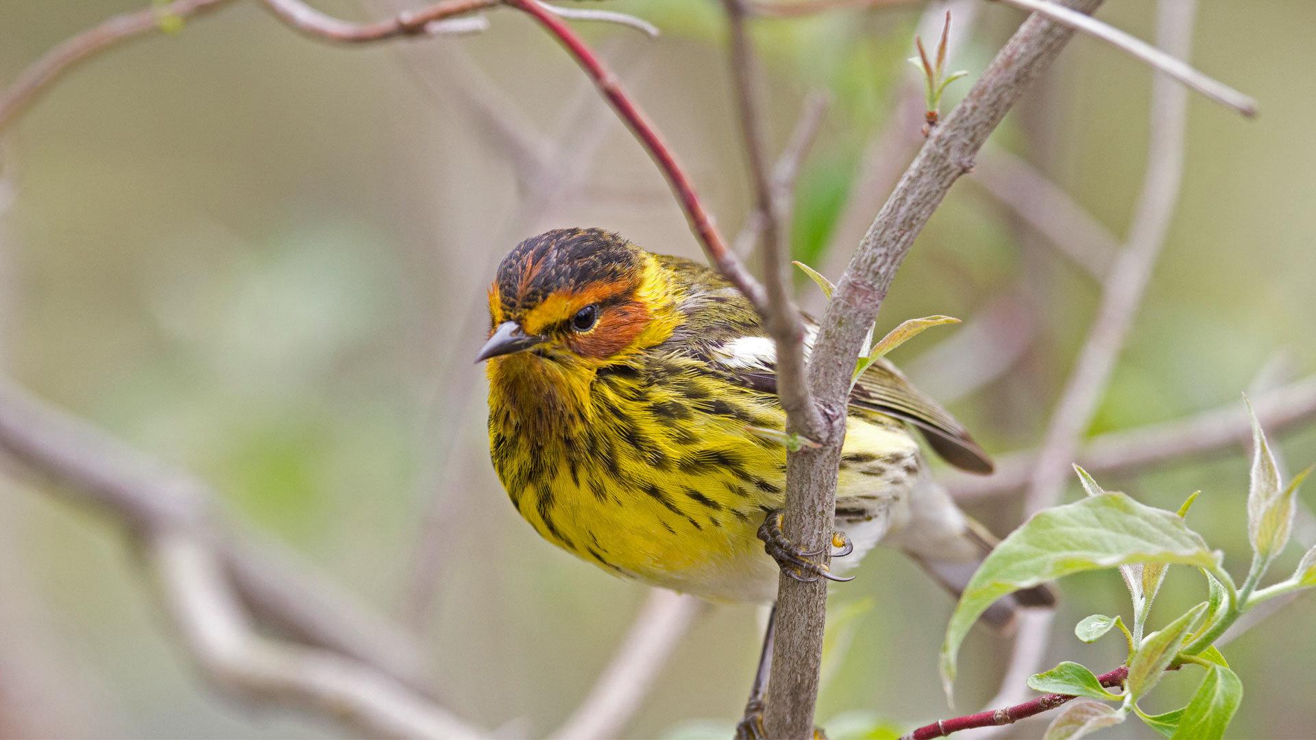 春天里的一只雄性开普梅莺