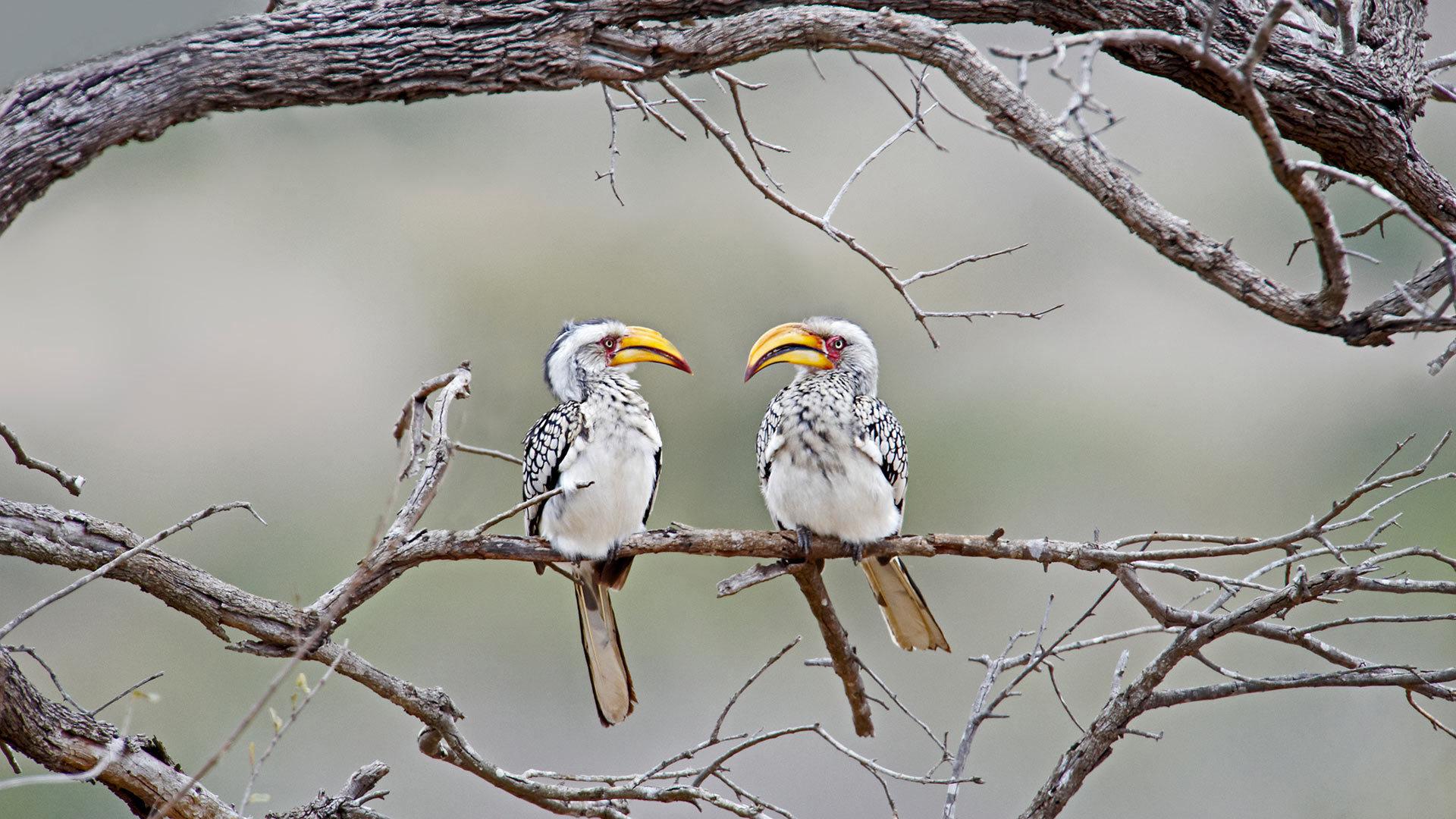克鲁格国家公园中的黄嘴犀鸟