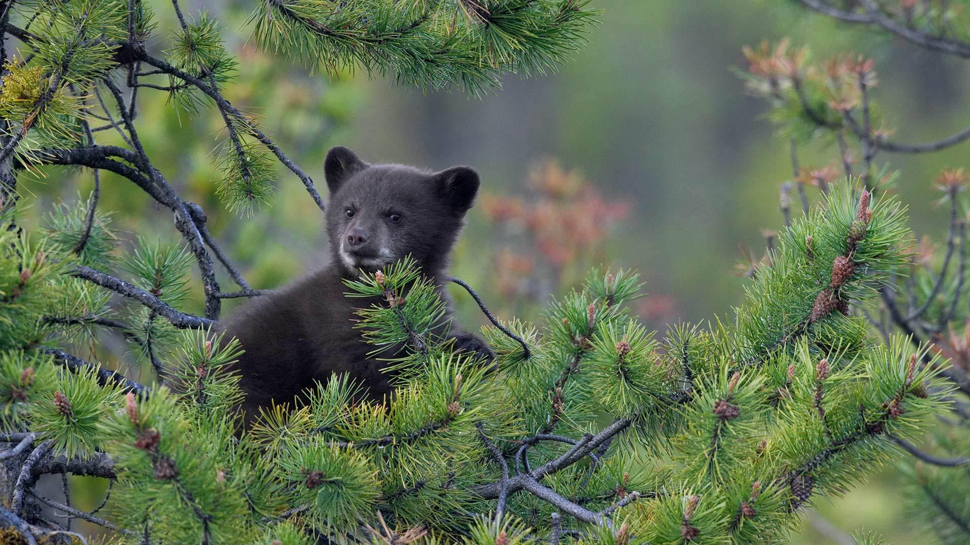 松树上的一只美国黑熊幼崽