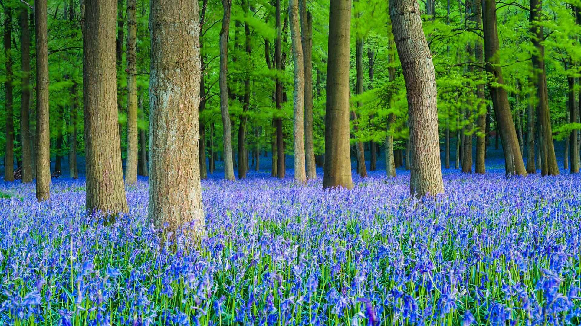 山毛榉树林里的蓝铃花