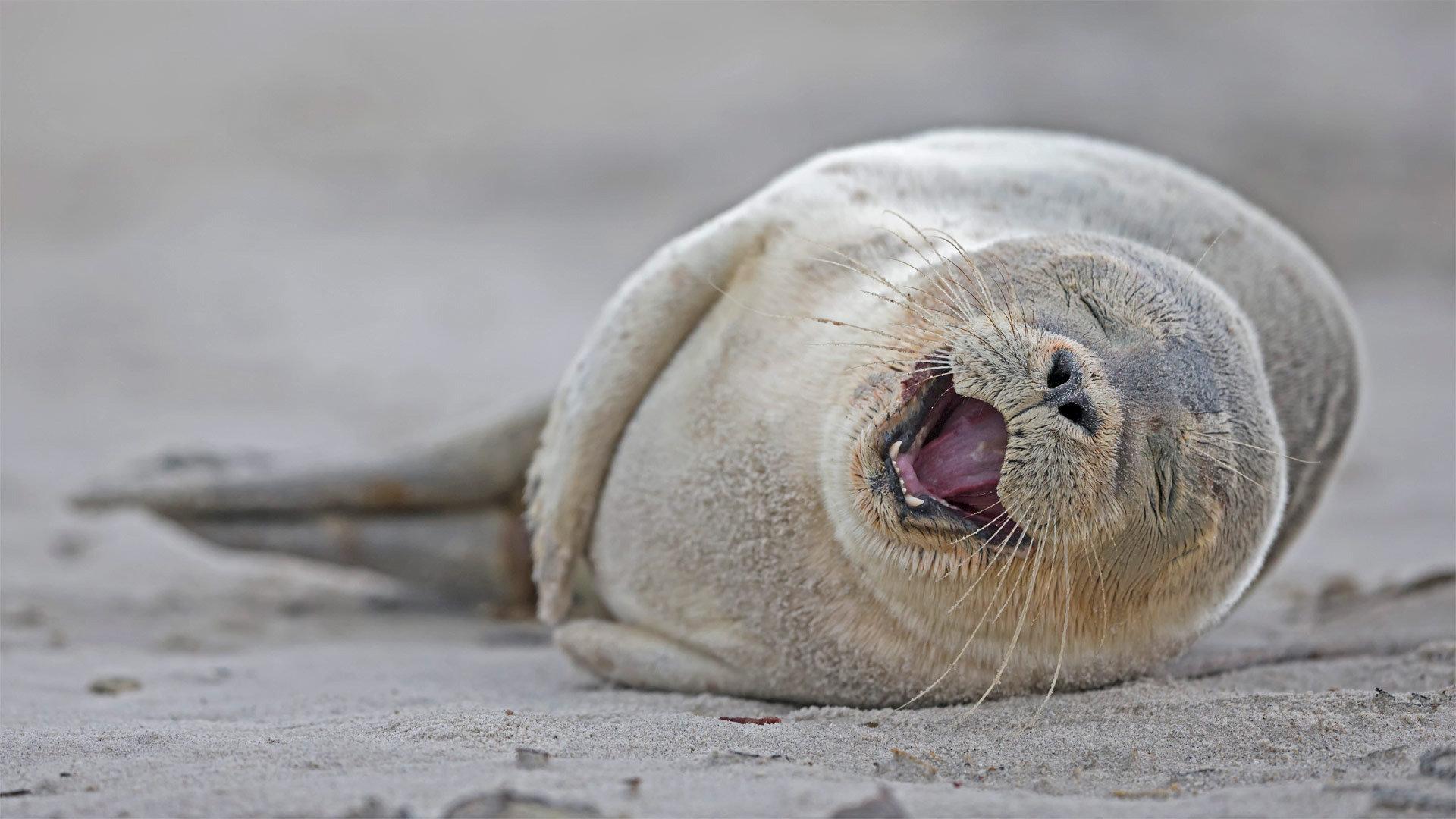 一只躺在沙滩上的港海豹幼崽