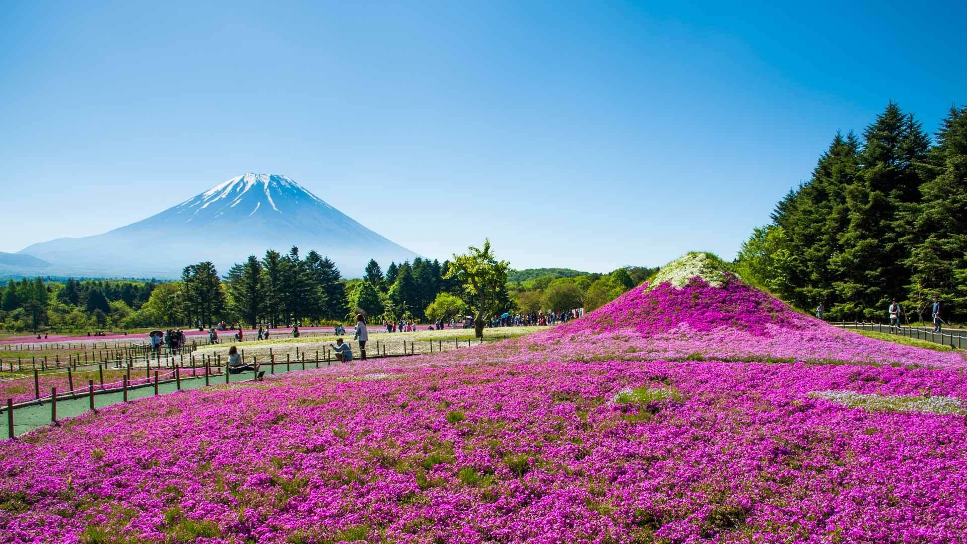 富士山与丛生福禄考花田