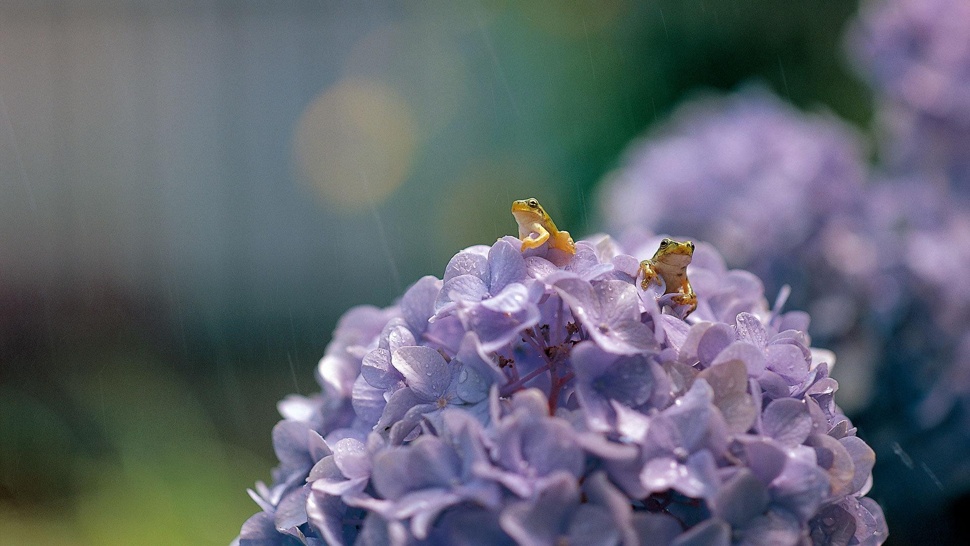 大叶绣球花上的一对日本树蛙
