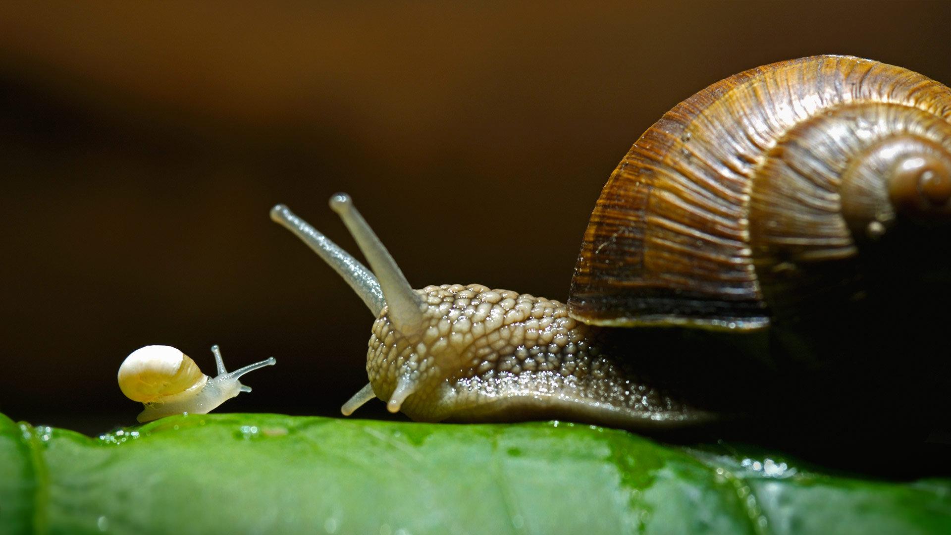 勃艮第蜗牛,也称为食用蜗牛