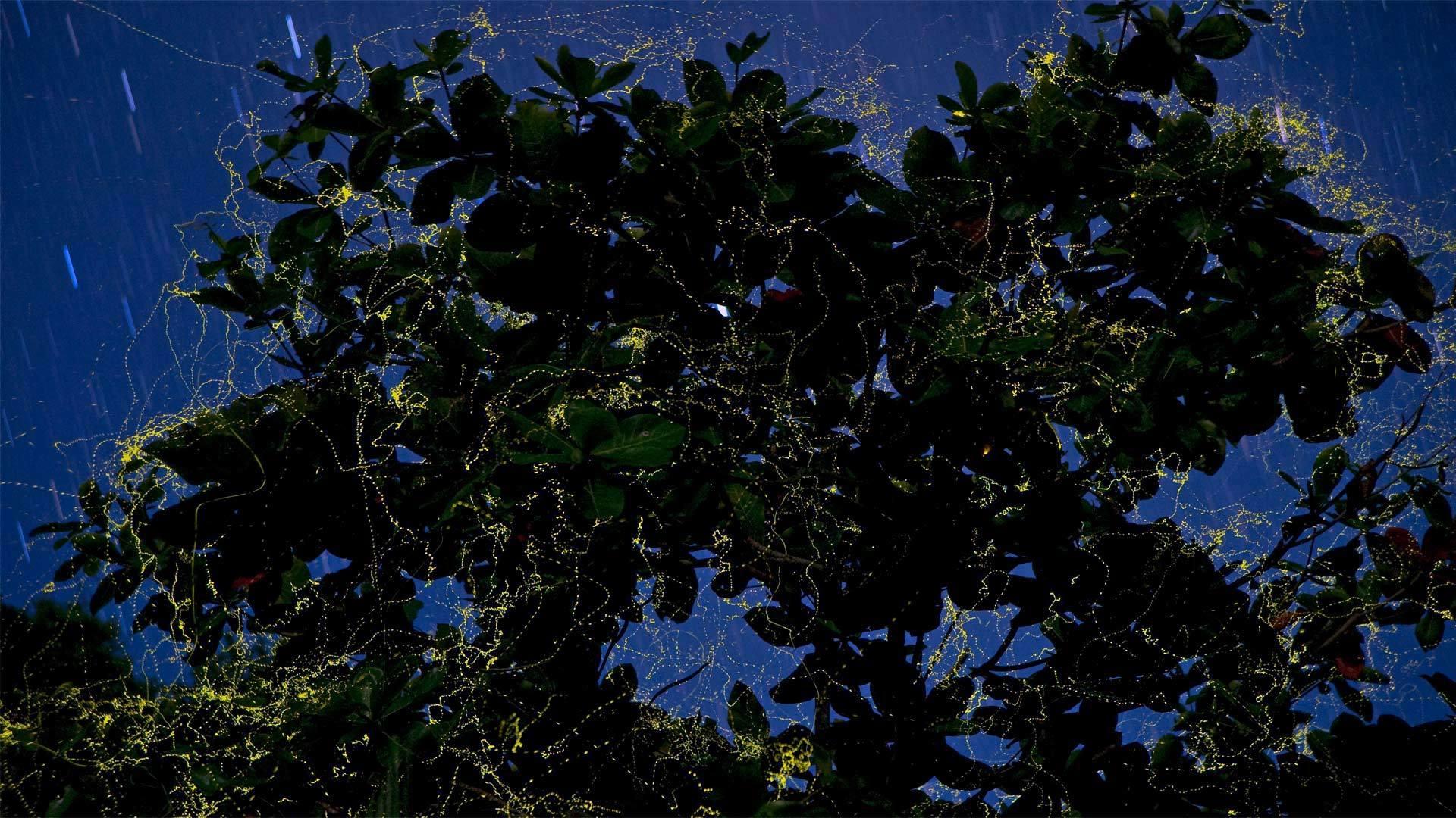 吕宋岛上的萤火虫环绕着榄仁树