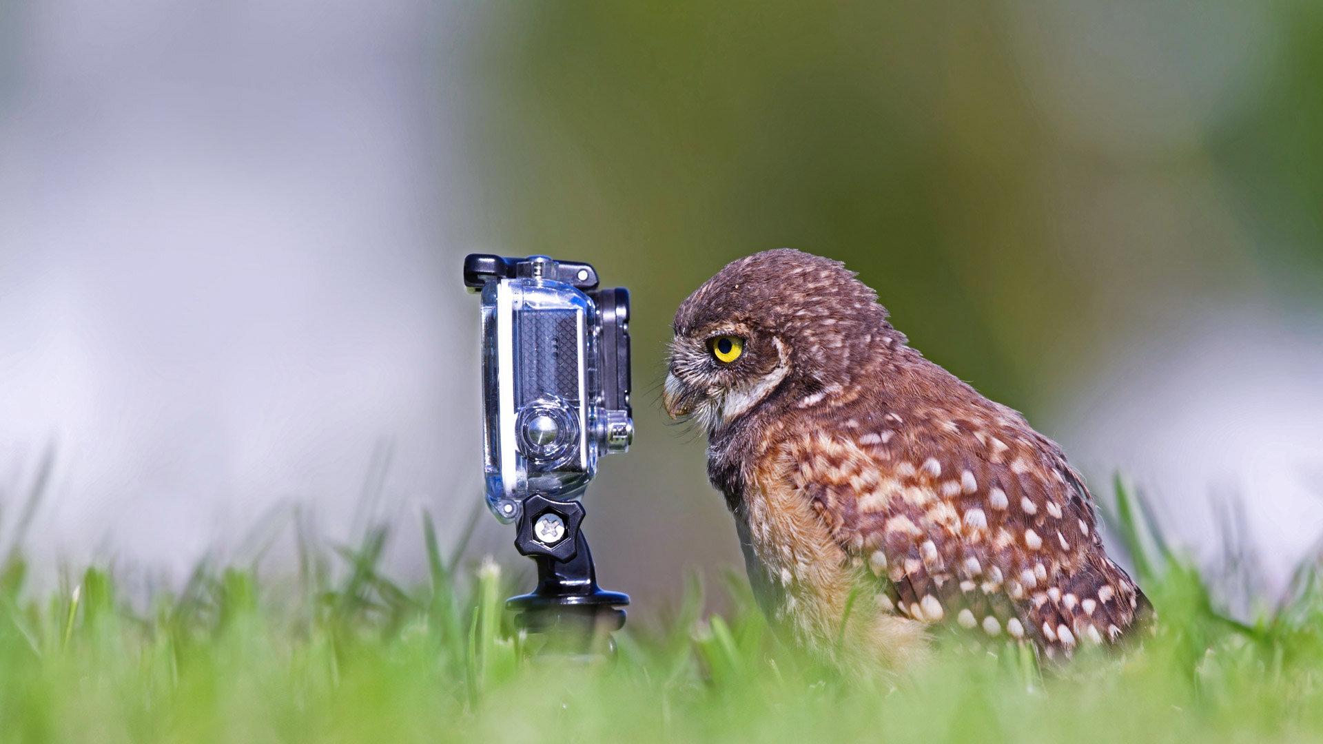 一只正在摆姿势的穴鸮