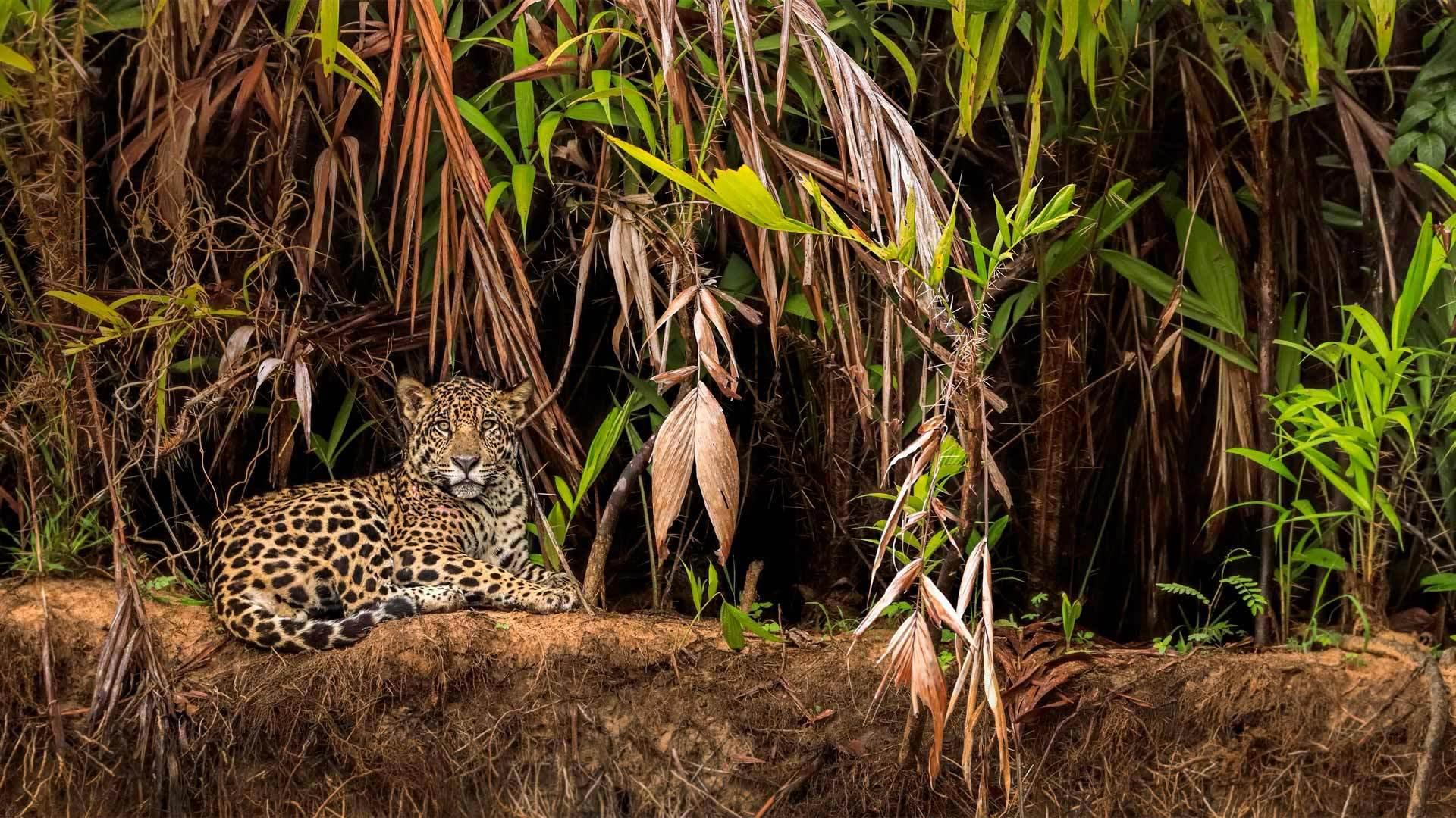 潘塔纳尔湿地的美洲豹