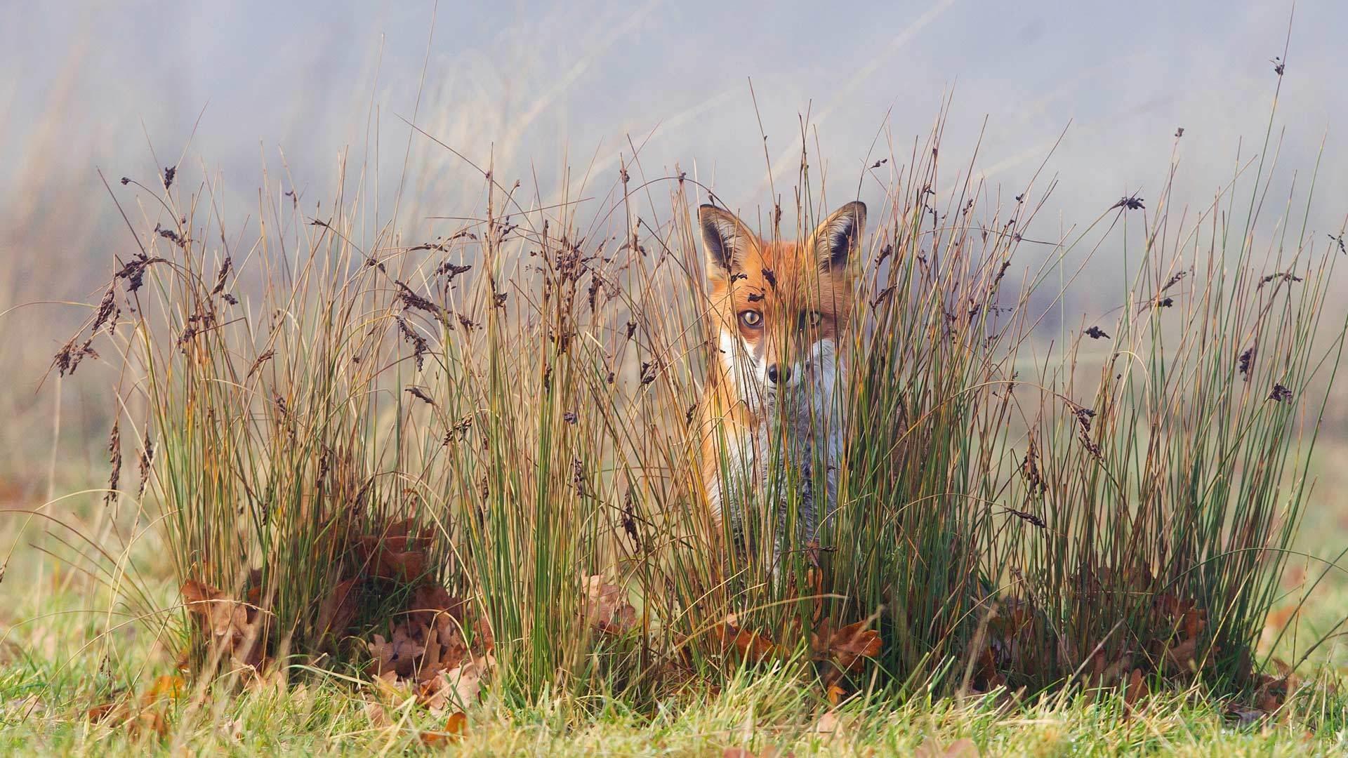 一只草丛里的狐狸