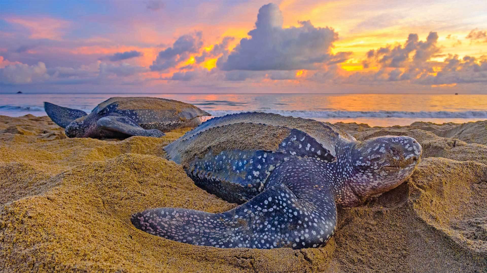 特立尼达和多巴哥的棱皮龟