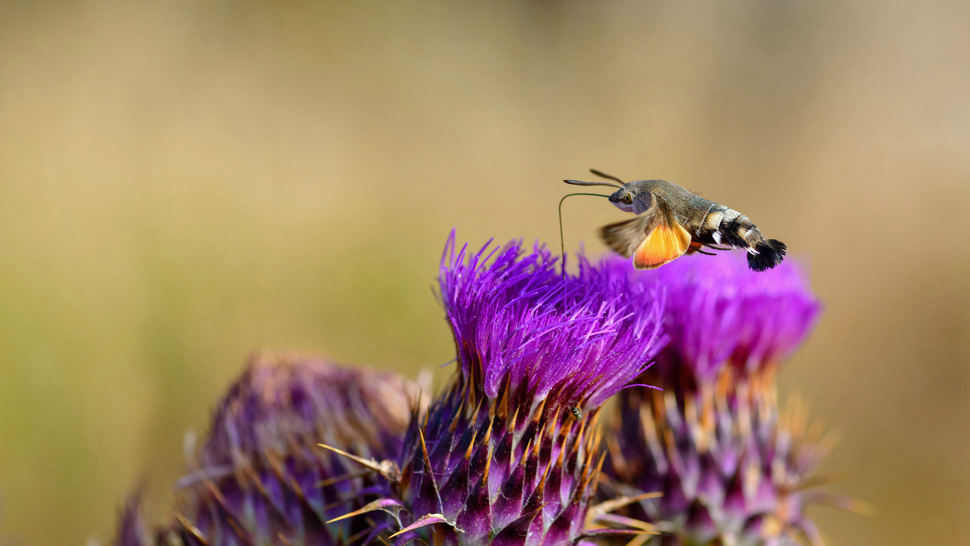 一只正在吸食花蜜的蜂鸟鹰蛾