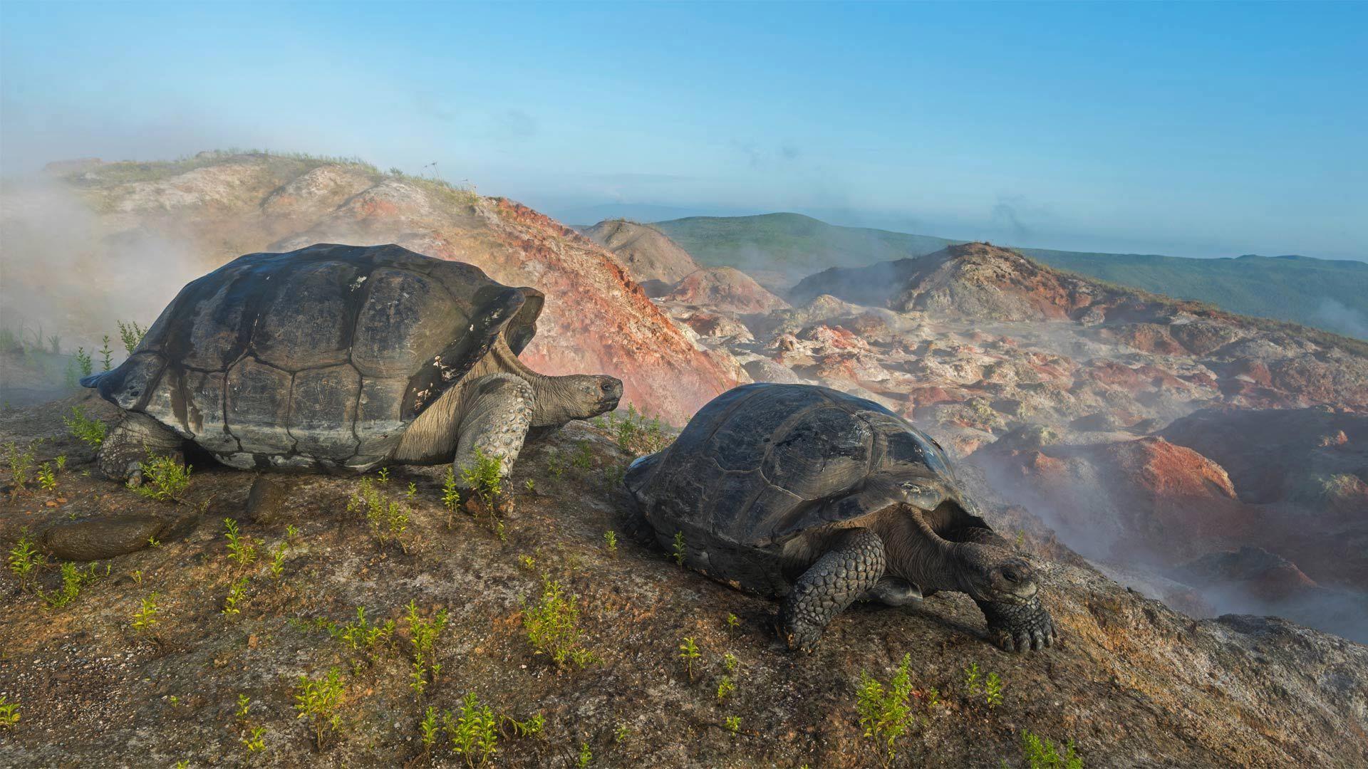 阿尔塞多火山上的象龟