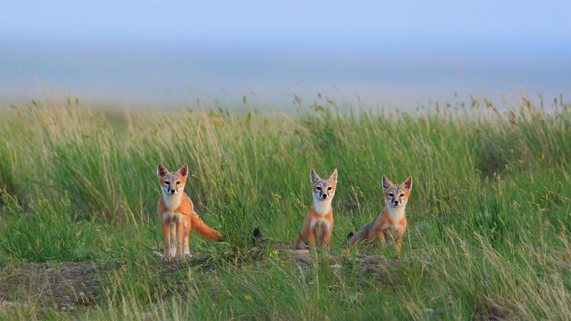 瓦勒玛丽附近草原国家公园中的草原狐幼崽