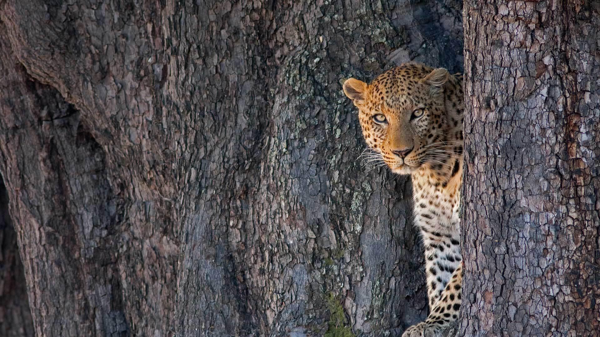 利尼扬蒂野生动物保护区中的一只雄性豹子
