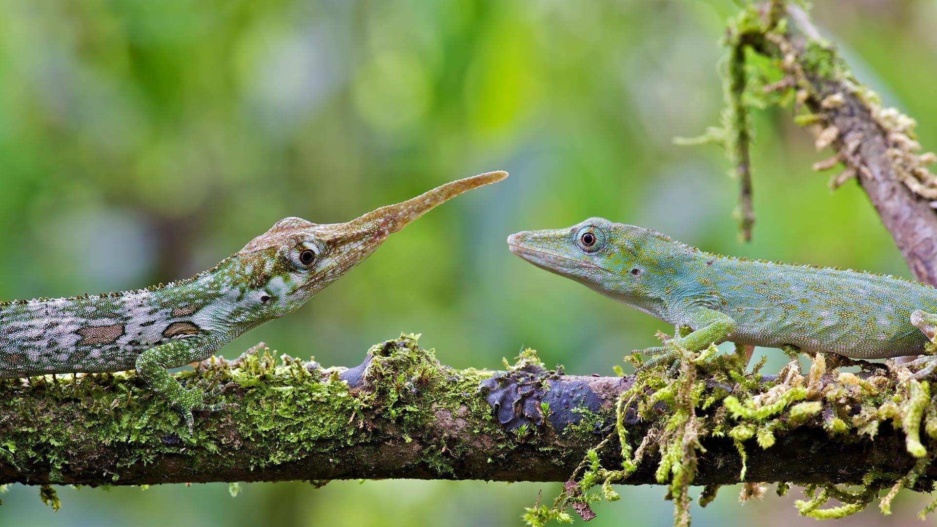 雄性和雌性的匹诺曹蜥蜴