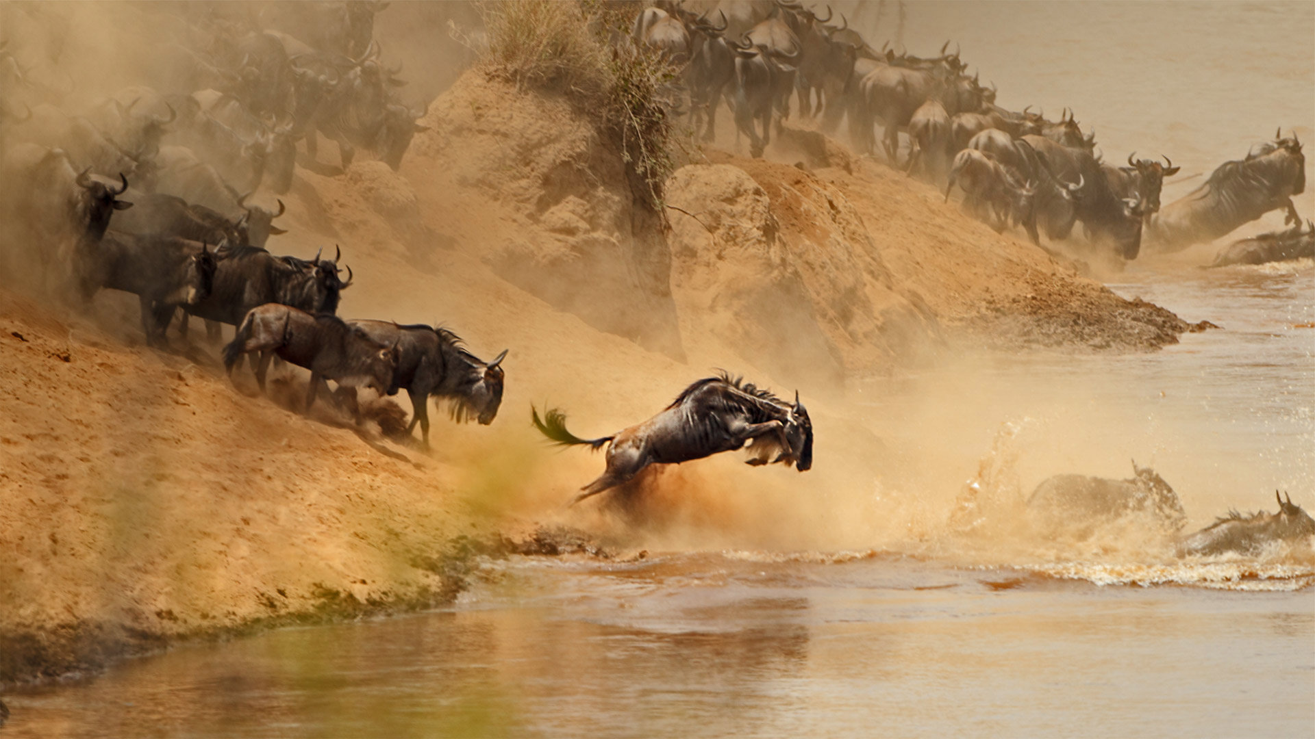 角马群穿越在肯尼亚和坦桑尼亚之间的马拉河