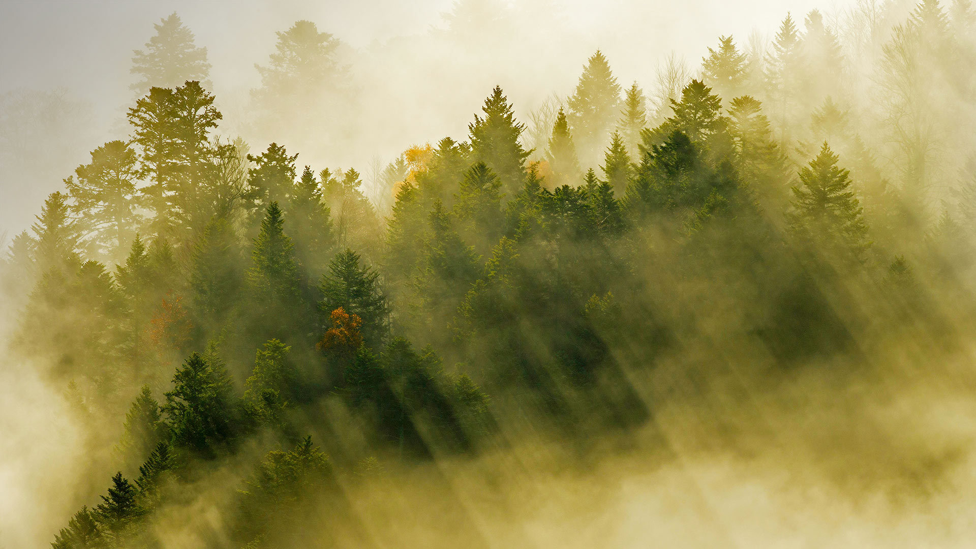 孚日山脉的针叶林