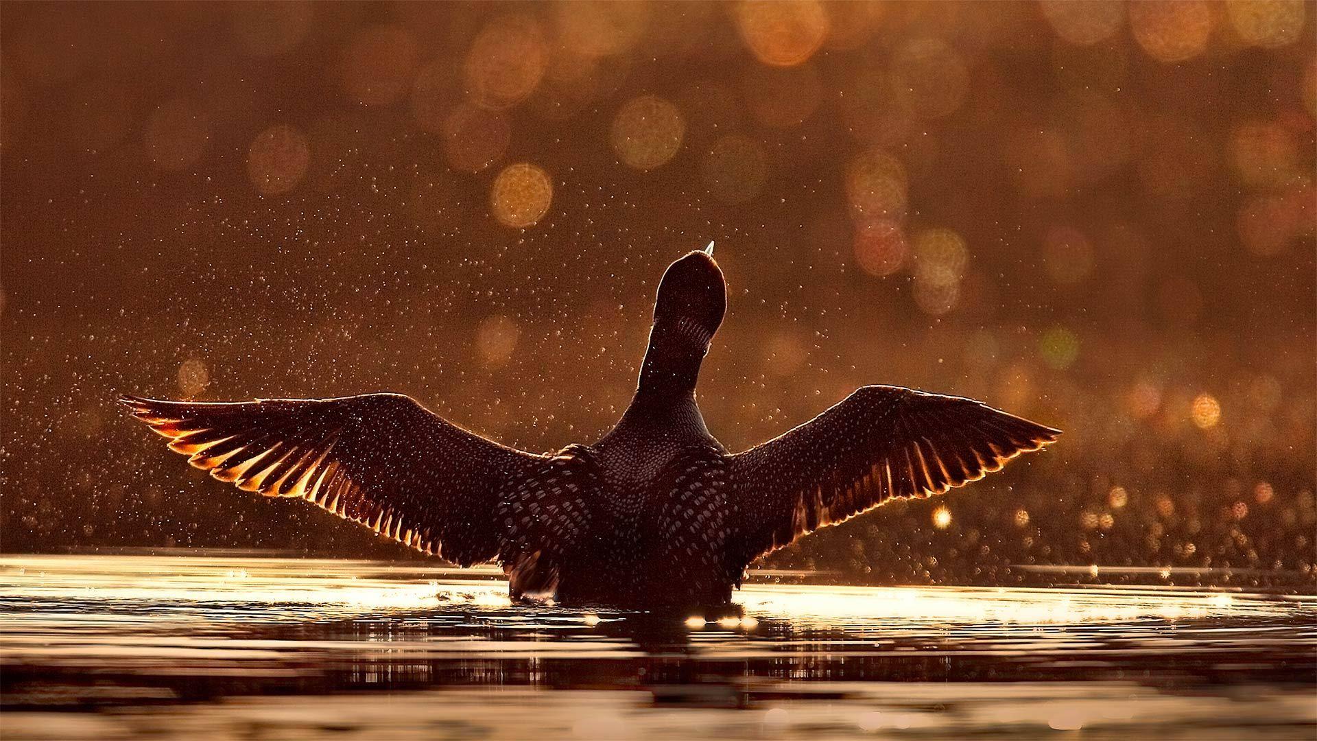 苏必利尔国家森林中一只常见的潜鸟