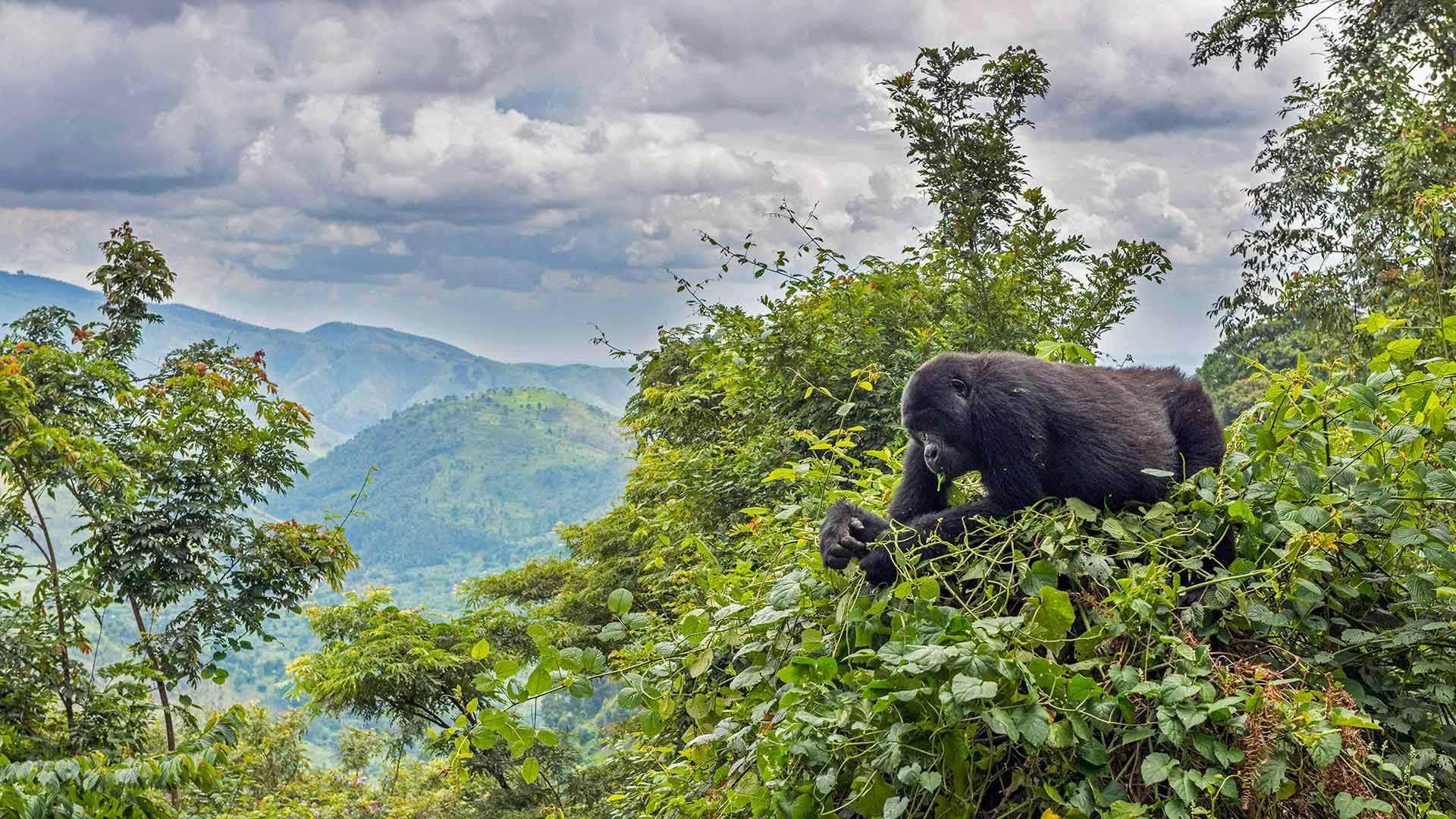 一只正在树上吃东西的山地大猩猩