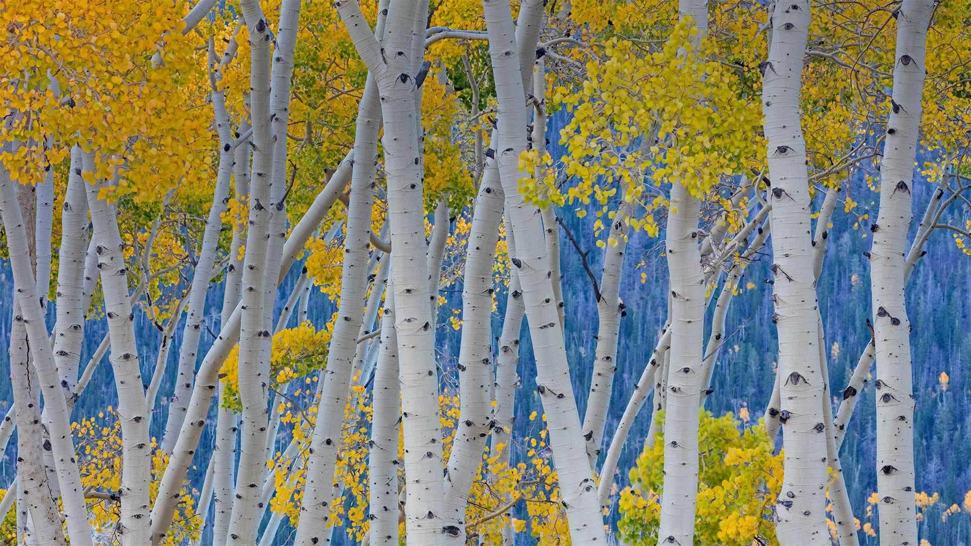 鱼湖国家森林中的美洲山杨