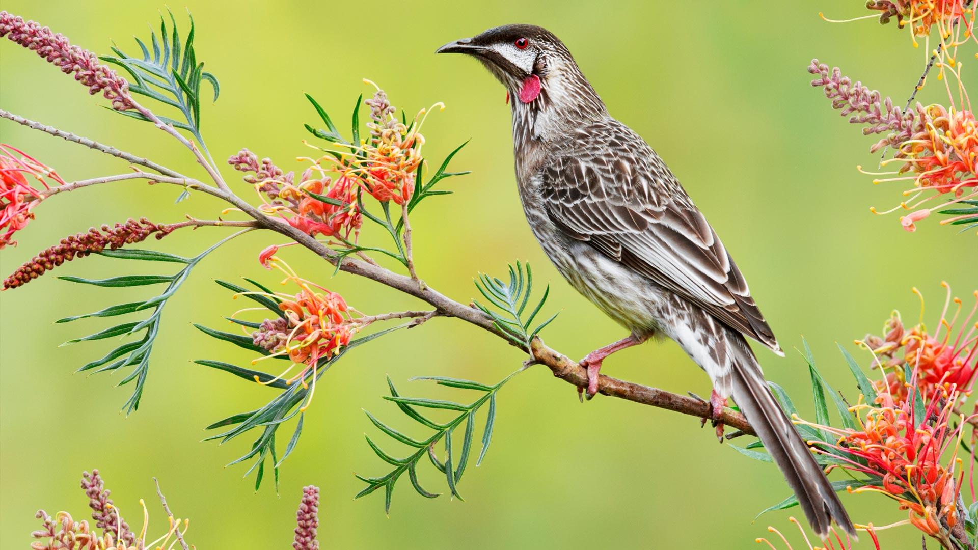 一只红垂蜜鸟
