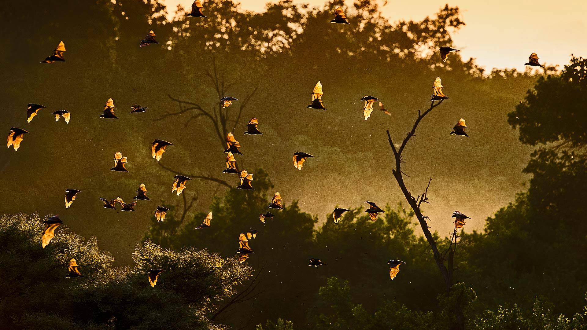 卡国家公园的黄毛果蝠